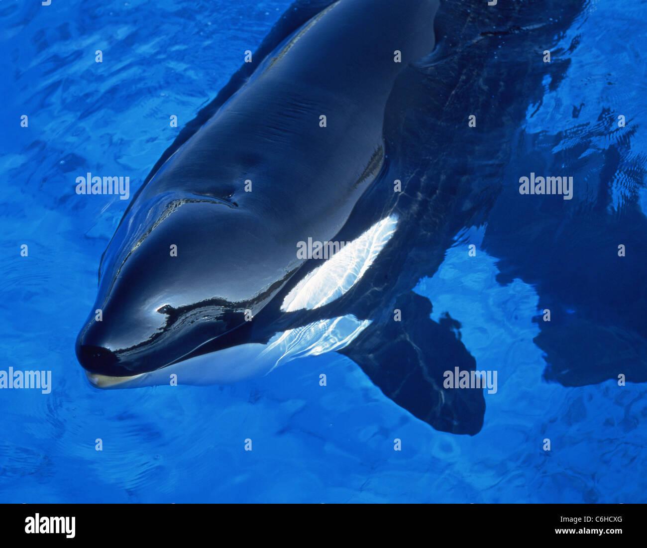 Orca Whale in pool, Sea World, Orlando, Florida, United States of America - Stock Image