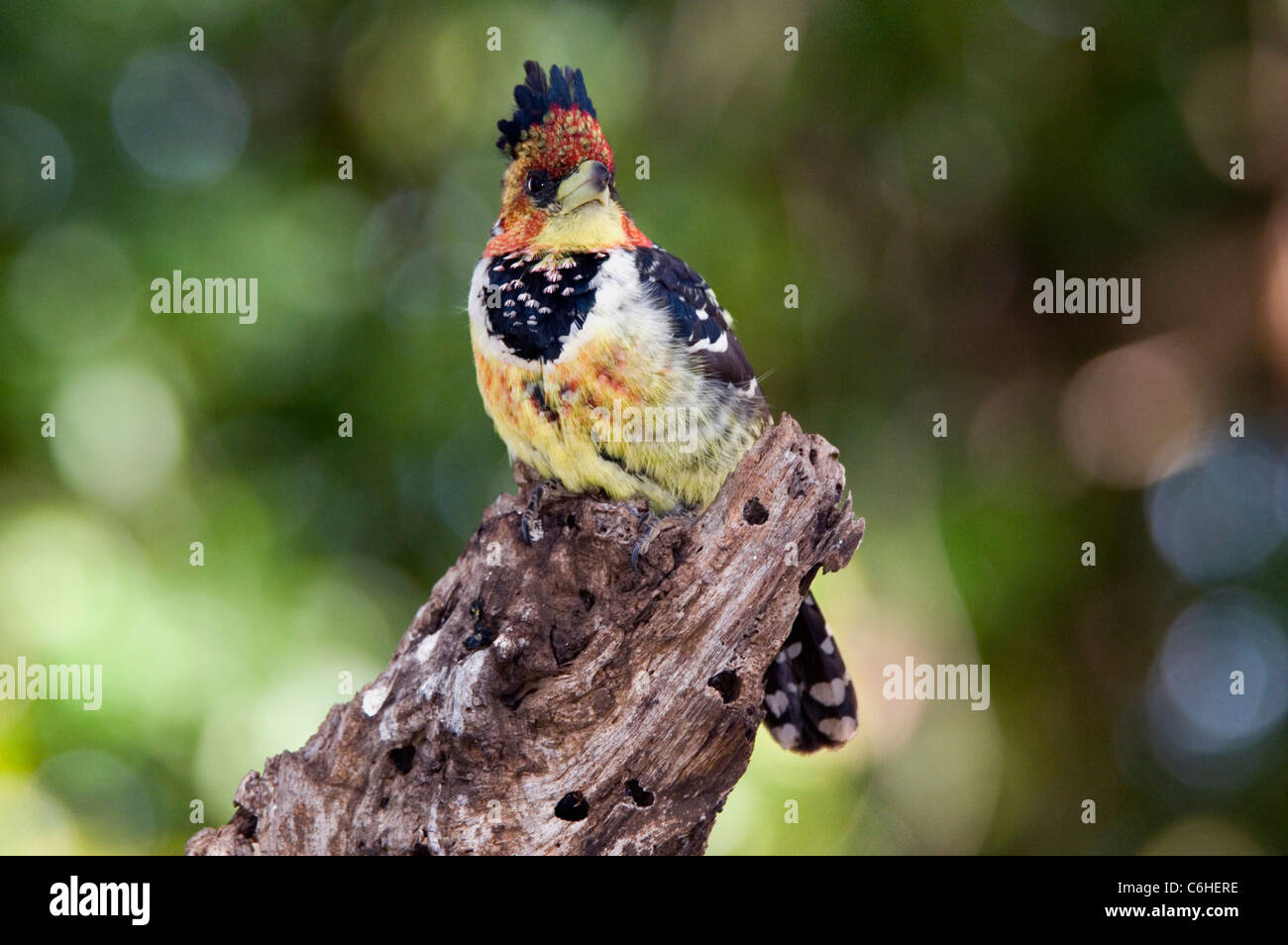 Crested / Levaillant's Barbet. - Stock Image