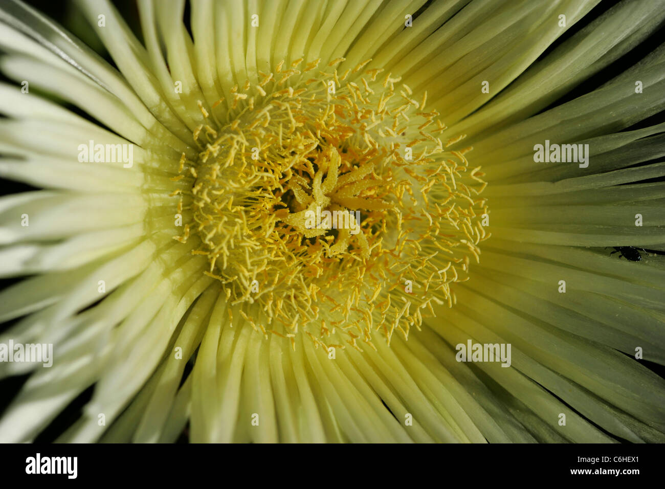 Close-up of a white composite flower - Stock Image