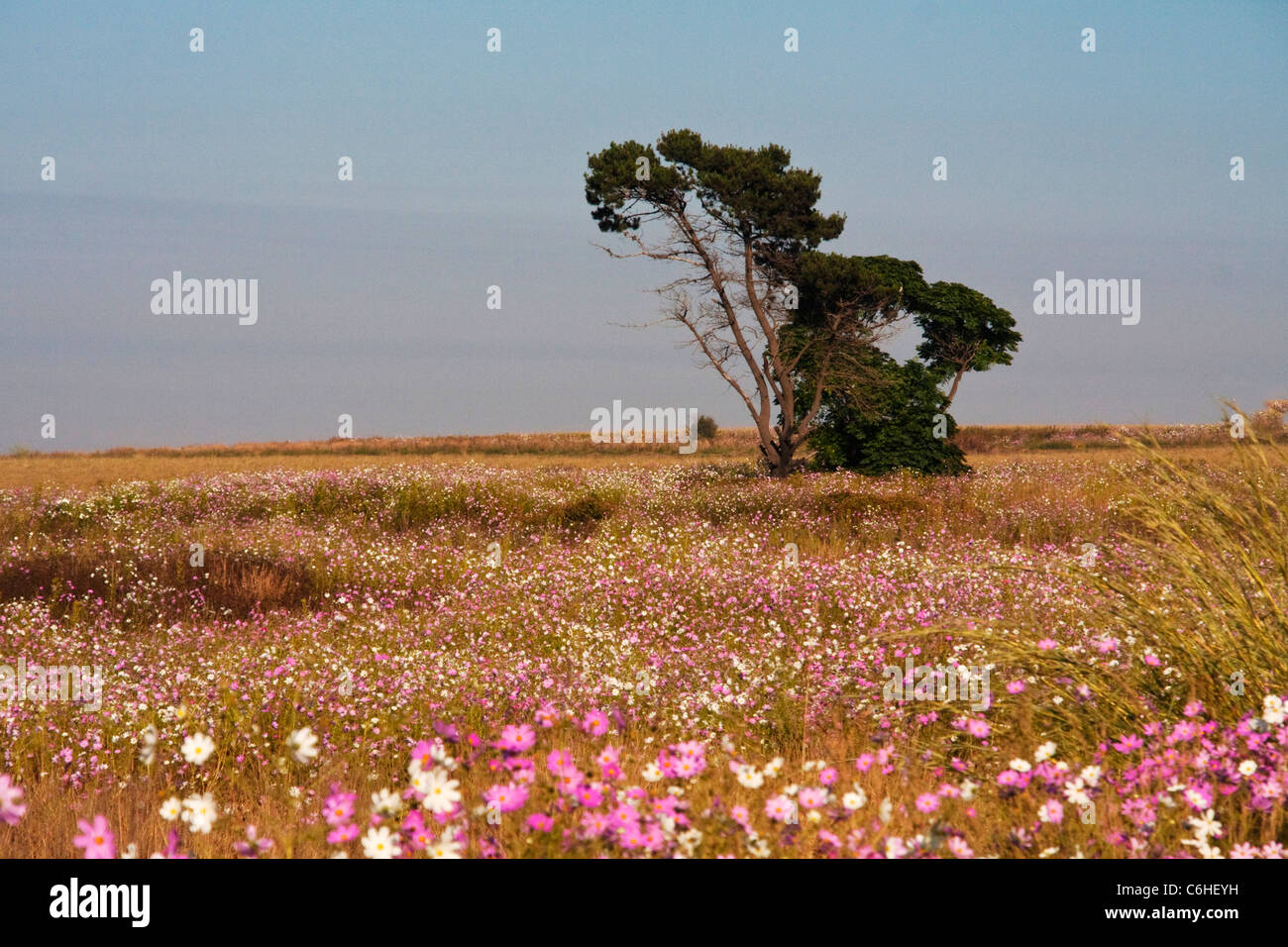 Highveld landscape with a pine tree surrounded by a field of cosmos - Stock Image