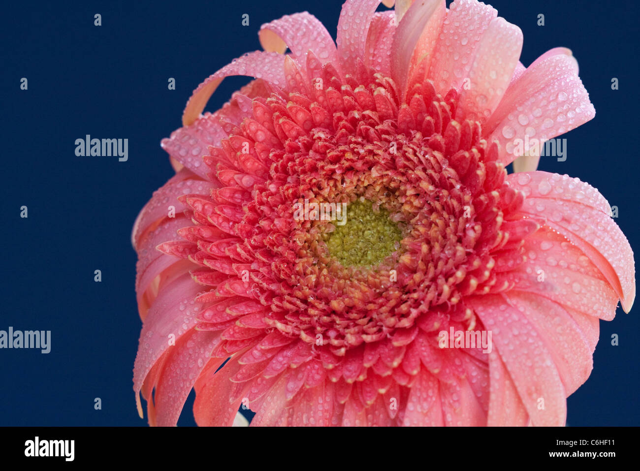 Pink composite flower with water droplets - Stock Image