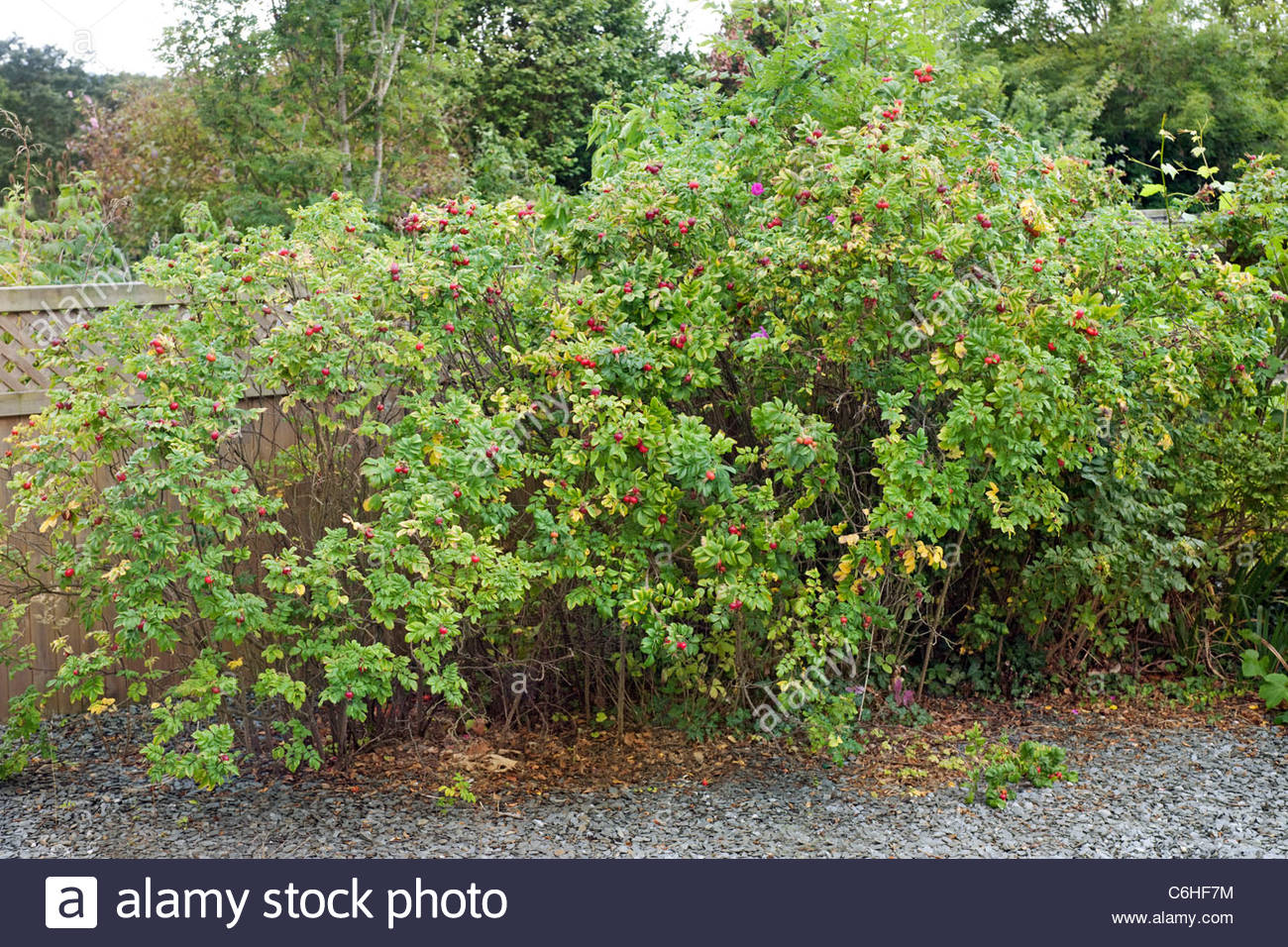 Rosa rugosa hedge - Stock Image