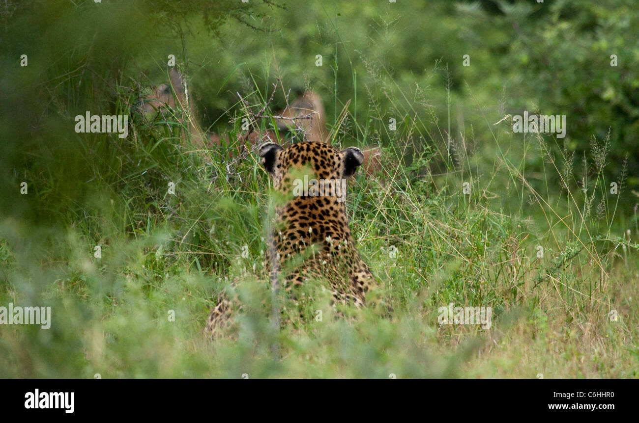 Leopard stalking a herd of unaware impalas  from long grass - Stock Image