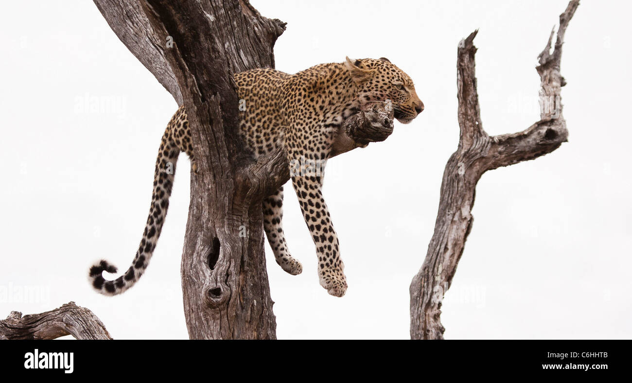 Leopard resting on a branch in a dead tree Stock Photo
