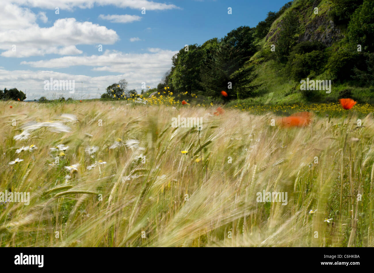 Poppies, barley and daisies in windy wildflower meadow at St Cyrus Nature Reserve Kincardineshire - Stock Image