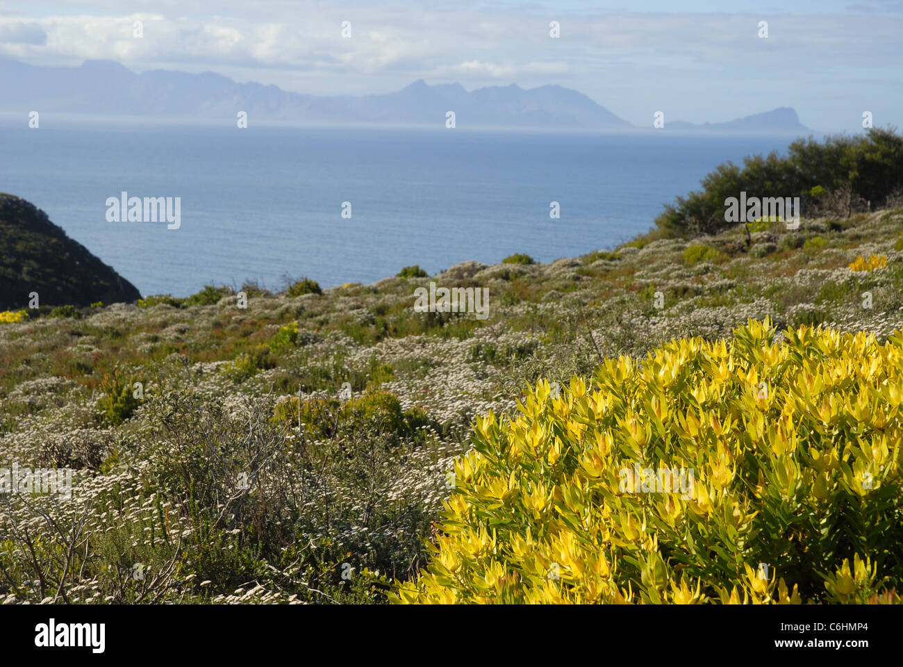 coastal vegetation, Cape Point, Cape of Good Hope, Table Mountain National Park, Western Cape, South Africa - Stock Image