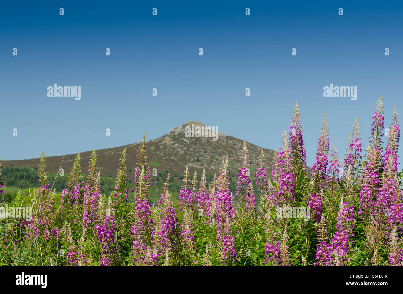 Bennachie or The Mither Tap and Rosebay Willowherb - Stock Image
