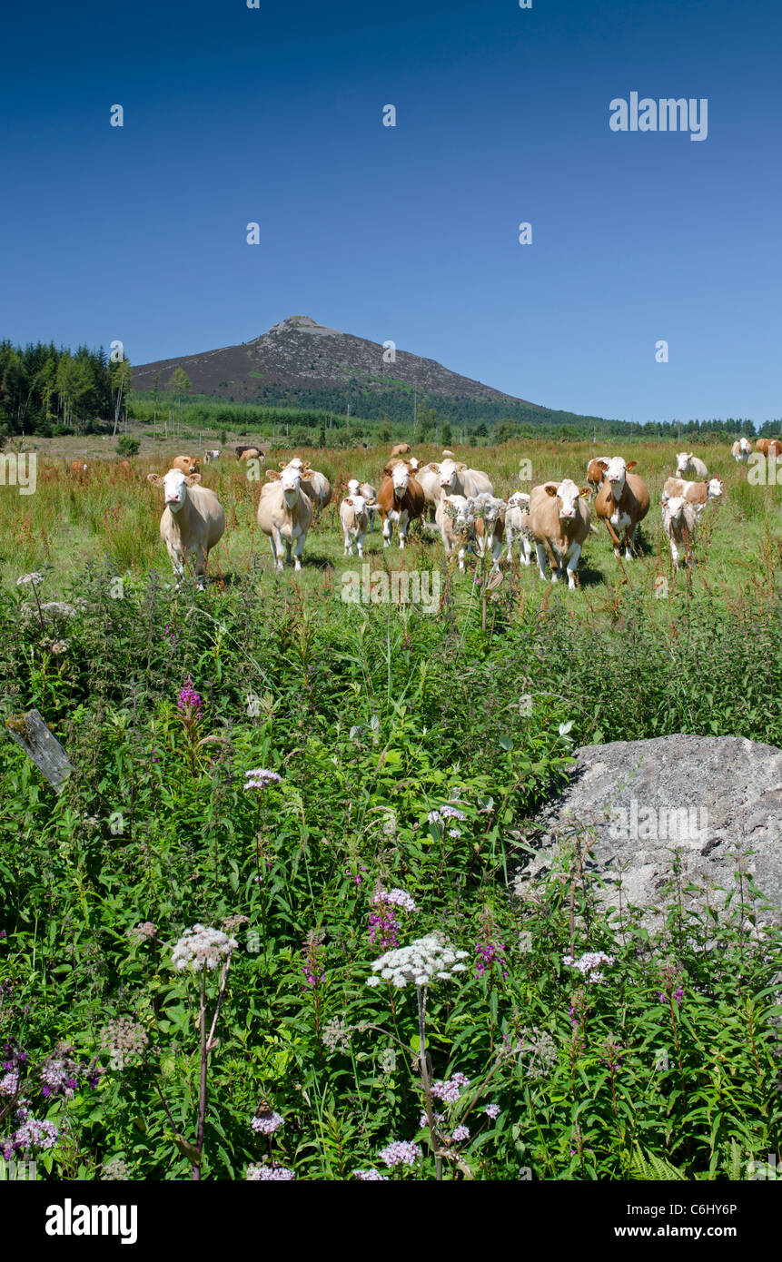 Cattle and view of Bennachie or The Mither Tap Aberdeen - Stock Image