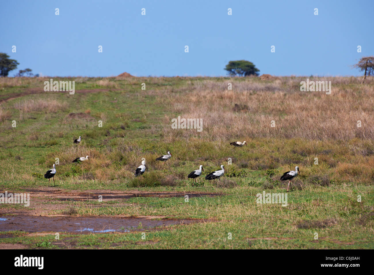 group of feeding White Stork, Ciconia ciconia, Serengeti, Tanzania, Africa - Stock Image