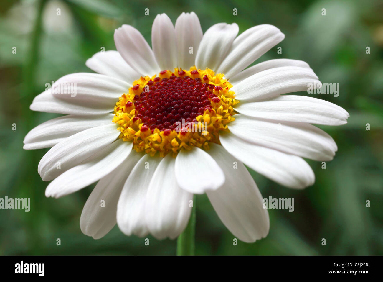 Moroccan Daisy - Stock Image