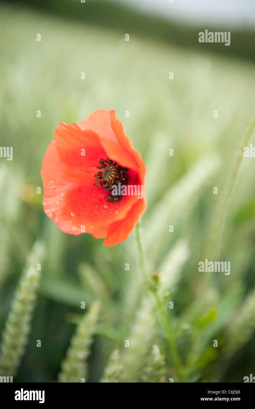 Close up of a red poppy in a cornfield Stock Photo