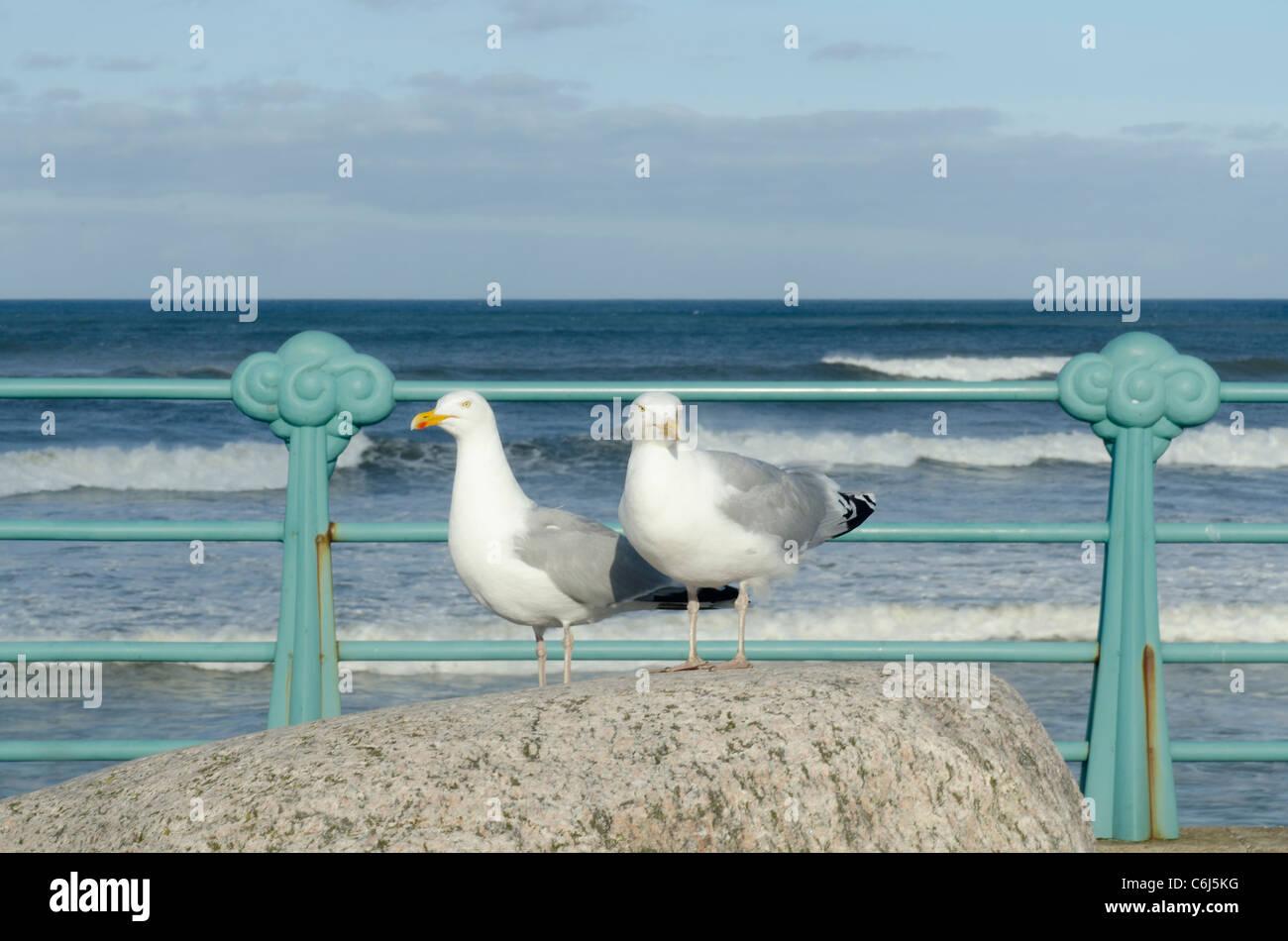 Two seagulls posing at promenade railings - Montrose seafront  Angus - Stock Image