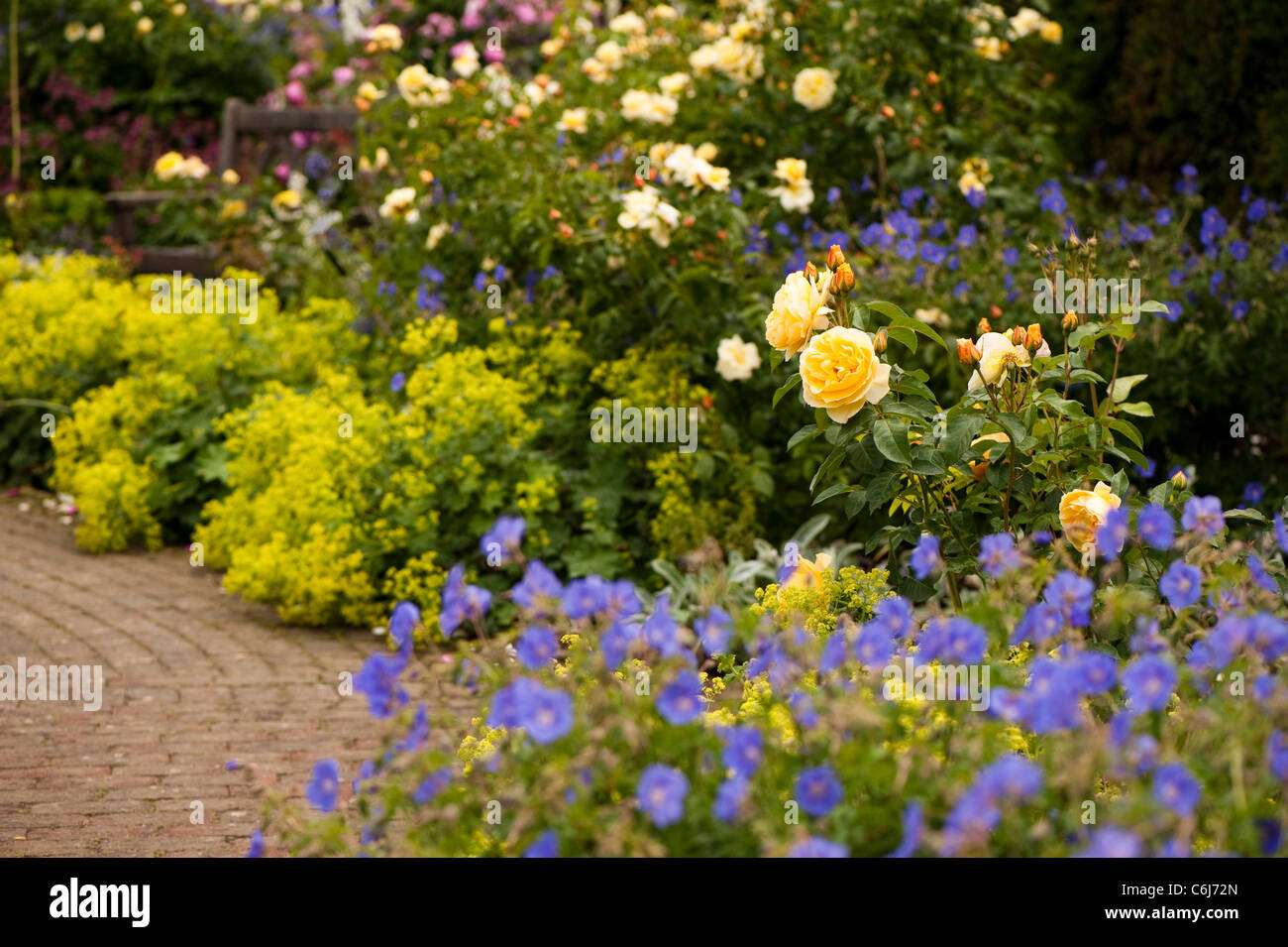 The shrub rose garden at rhs rosemoor with rosa graham thomas stock the shrub rose garden at rhs rosemoor with rosa graham thomas ausmas in the foreground thecheapjerseys Images