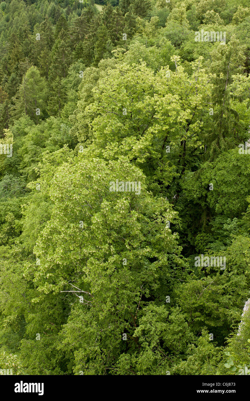 Large-leaved limes, Tilia platyphyllos in limestone cliff woodland, Bled, Julian Alps, Slovenia. Stock Photo