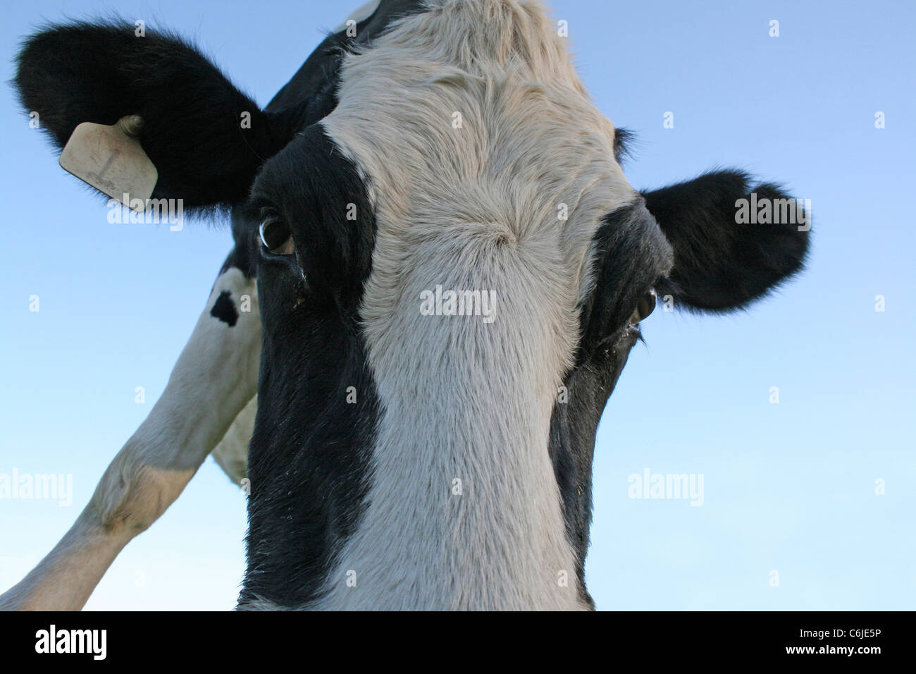 Low angle portrait of a Friesland cow with tagged ear Stock Photo