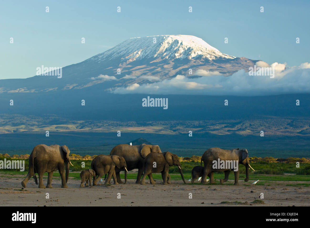 A herd of African elephants with the snow-capped Kibo peak of Mount Kilimanjaro in the background. - Stock Image