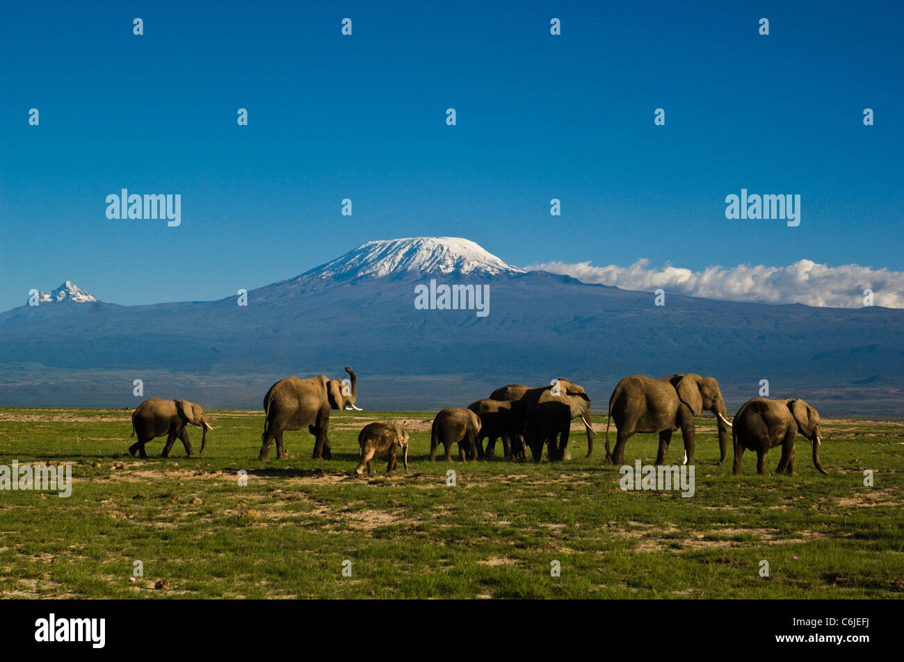 A herd of African elephants with the snow-capped Kibo and Mawenzi peaks of Mount Kilimanjaro in the background. - Stock Image