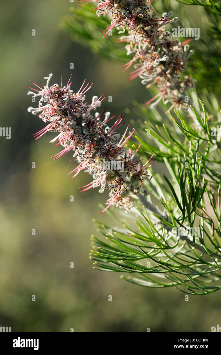 Pink flowers with narrow green leaves - Stock Image