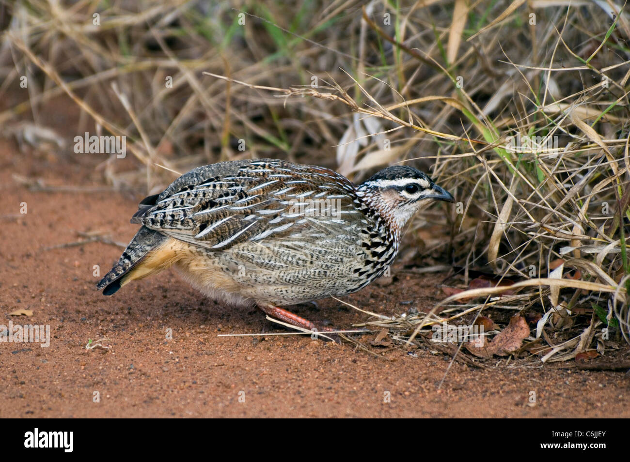 Crested Francolin foraging. - Stock Image