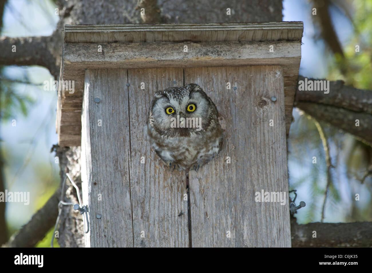Tengmalms Owl - Stock Image