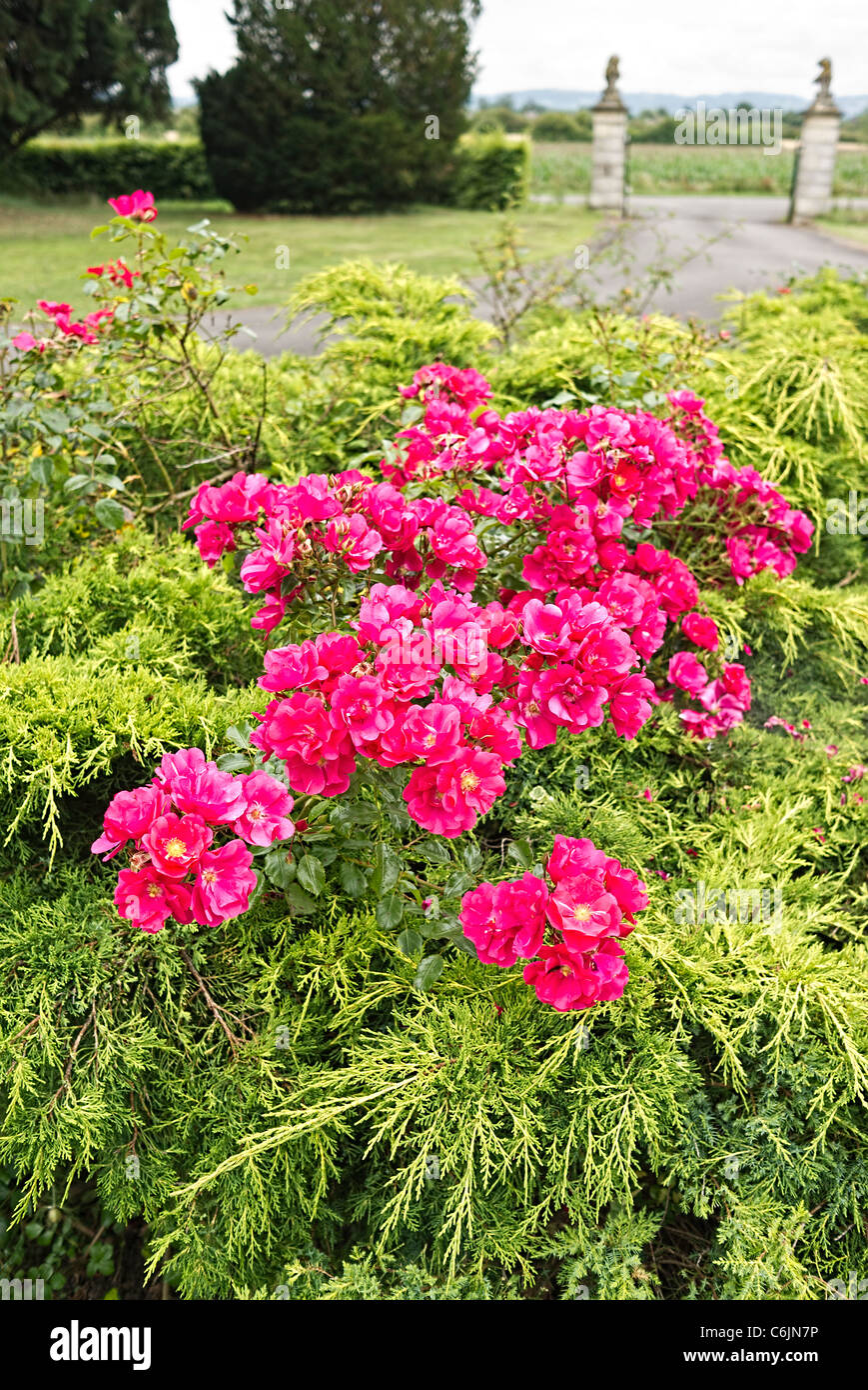 Unusual combination of pink cluster-flowered roses and prostrate evergreen conifers - Stock Image