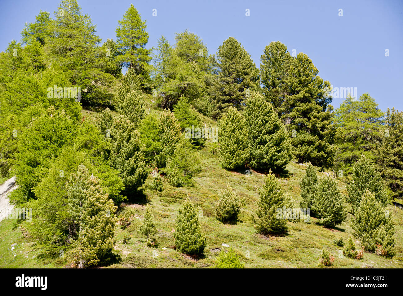 Mixed conifers, Mainly Arolla Pine and Common Larch on acidic mountain slope, Swiss Alps. Stock Photo
