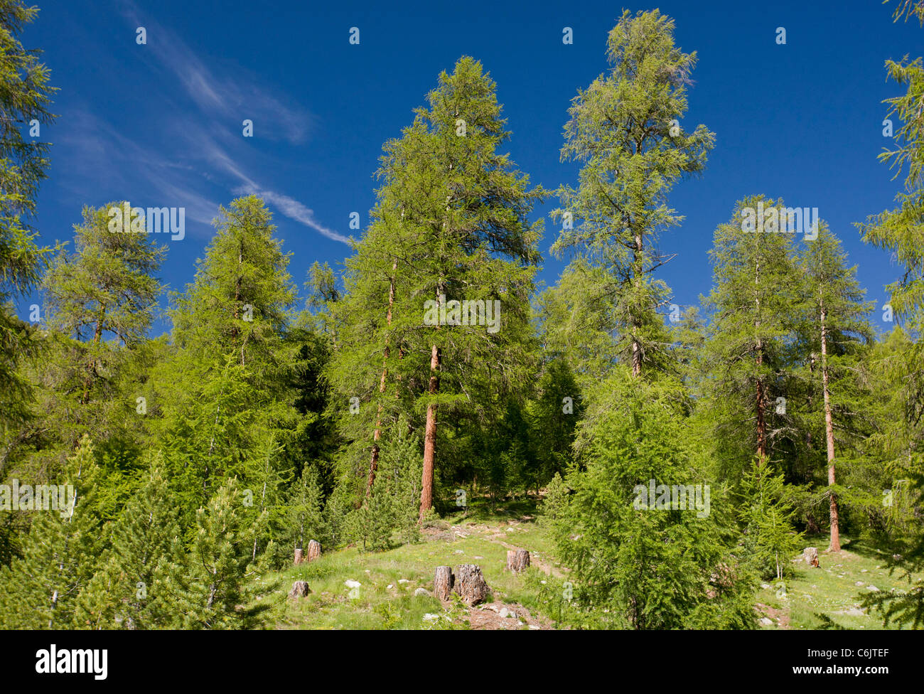 Managed natural Larch forest, Larix decidua, in the Upper Engadin valley, alps, Switzerland. - Stock Image