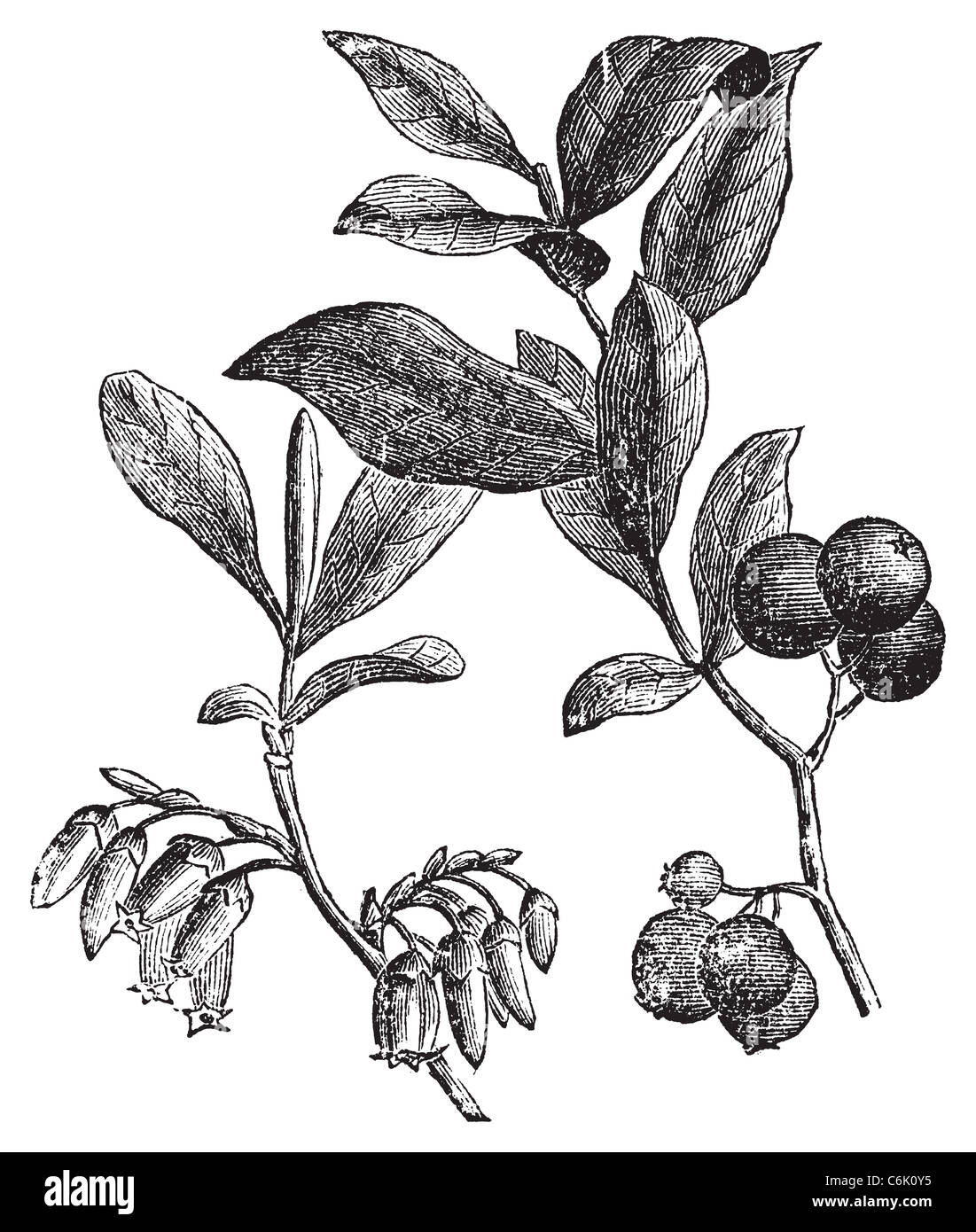 Huckleberry. Old vintage engraved illustration of huckleberry plant. The huckleberry is the state fruit of Idaho. - Stock Image