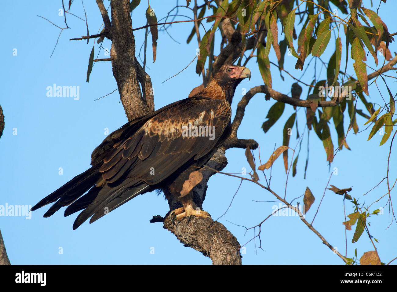 Wedge-tailed Eagle (Aquila audax), Yellow Water, Kakadu National Park, Northern Territory, Australia - Stock Image