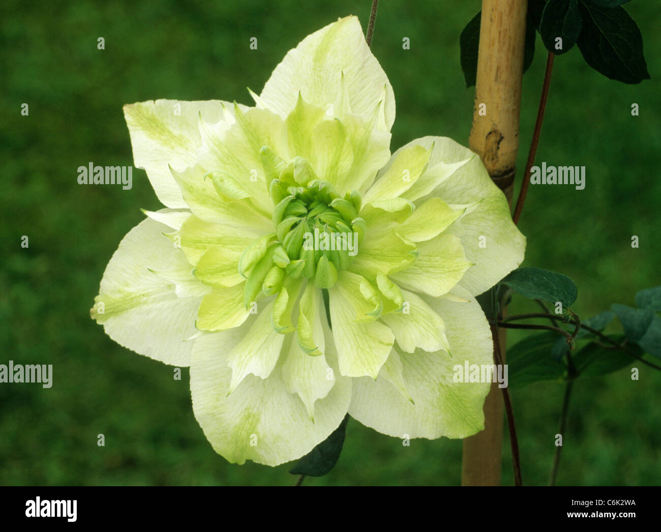 Clematis Florida Flora Pleno Cream Creamy Yellow Flower Flowers