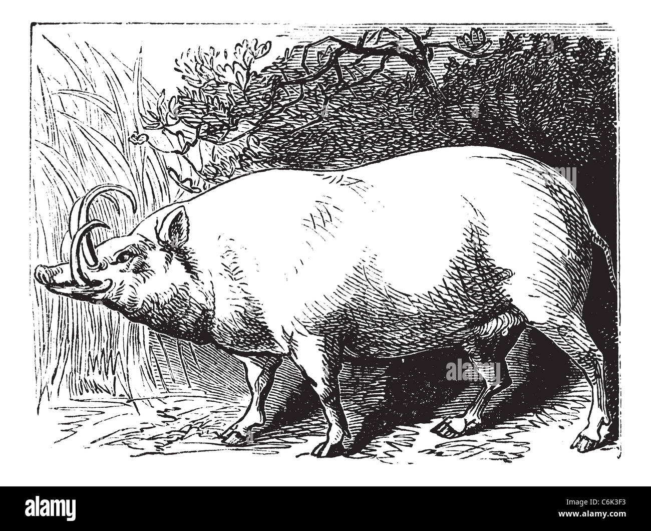 Babyrousa, Buru babirusa. Vintage engraving. Old engraved illustration of a a pig-deer specially found in Indonesia. - Stock Image