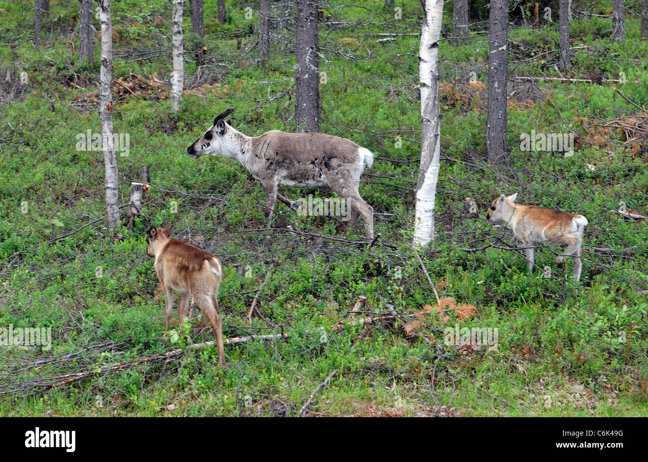 Reindeer in finnish Lapland - Stock Image