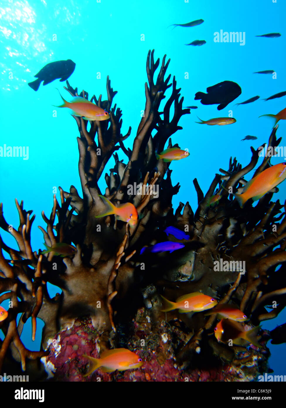 Fire coral with anthias fish - Stock Image