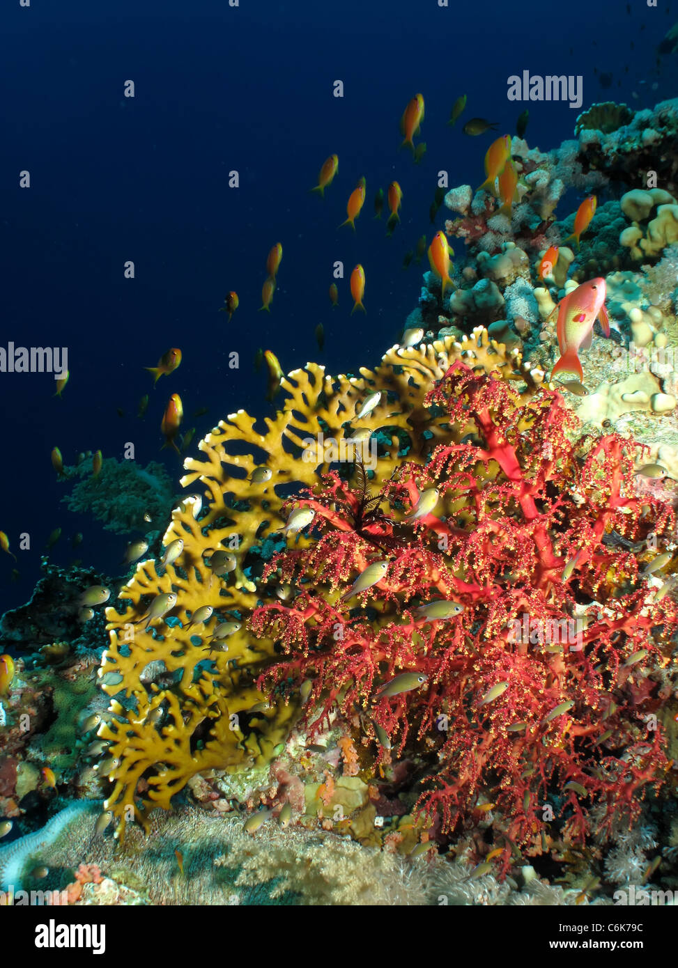 Fire coral with anthias - Stock Image