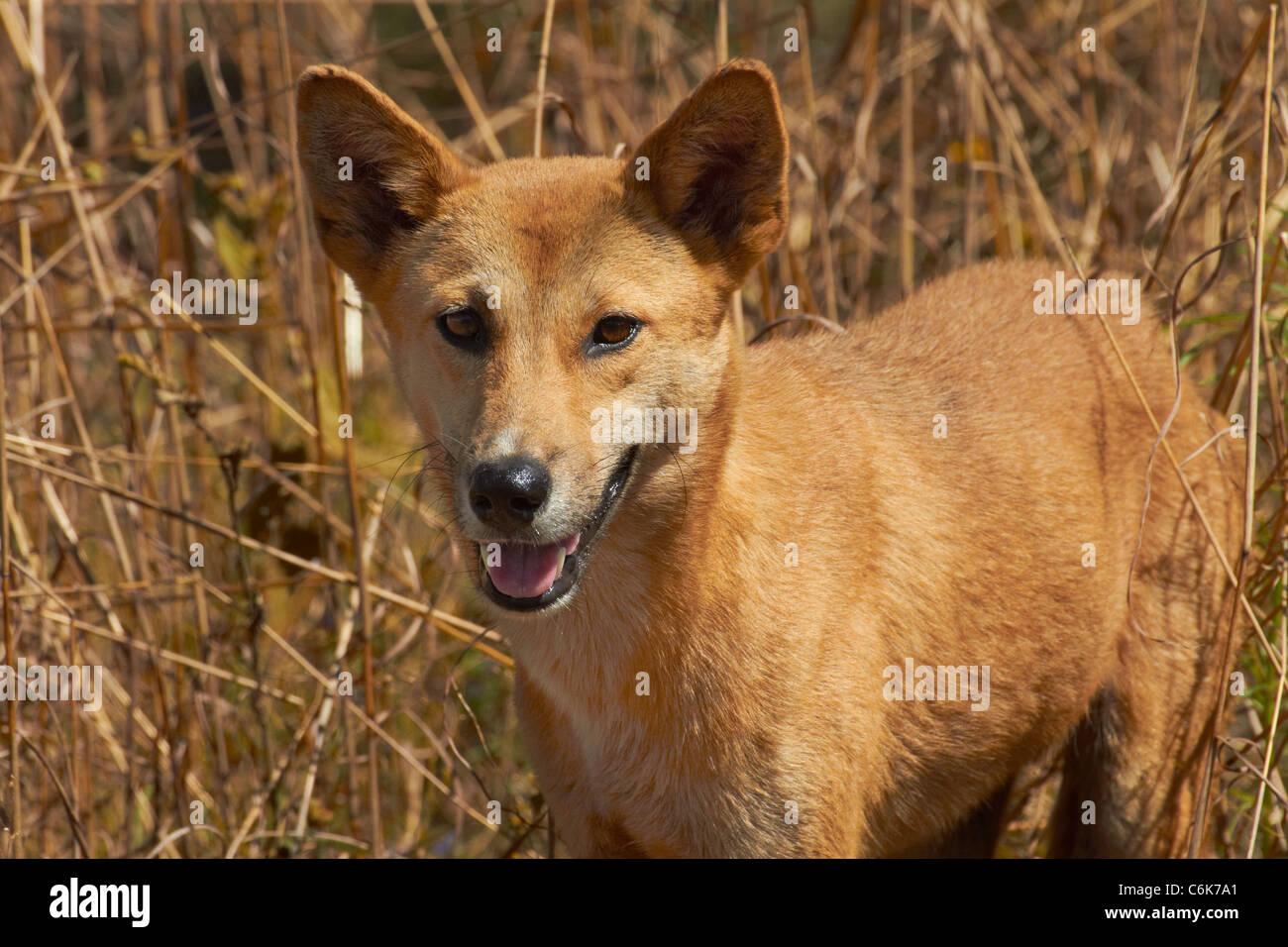 Dingo (Canis lupus dingo), Kakadu National Park, Northern Territory, Australia - Stock Image