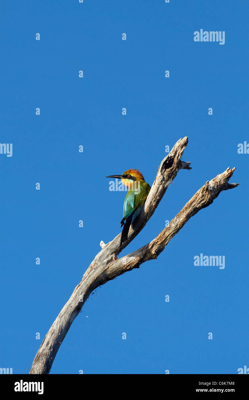 Rainbow Bee-eater (Merops ornatus), Yellow Water Billabong, Kakadu National Park, Northern Territory, Australia - Stock Image