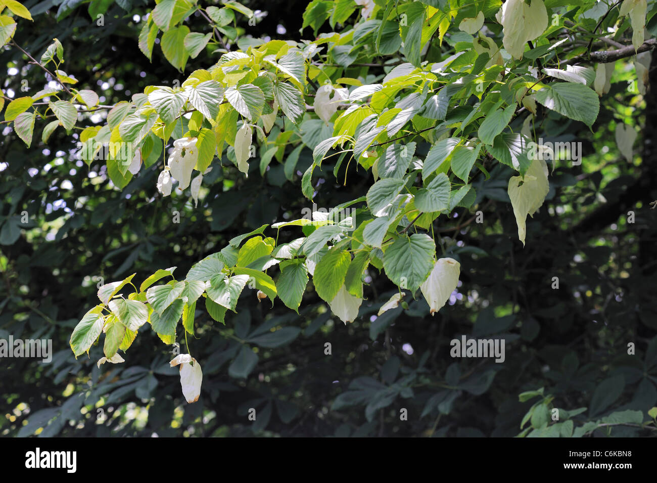 Dove-tree or Handkerchief Tree, davidia involucrata Stock Photo