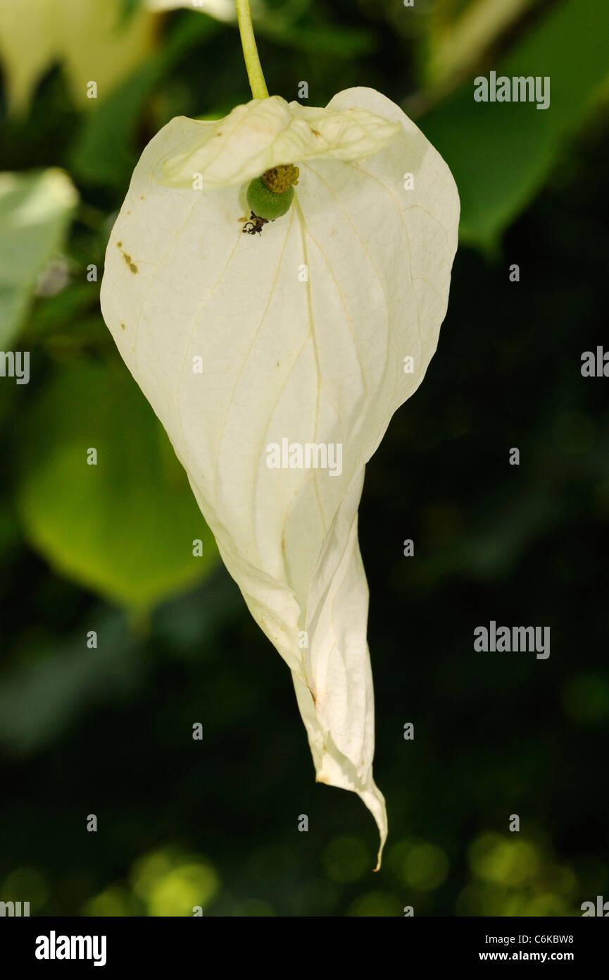Dove-tree or Handkerchief Tree flower, davidia involucrata Stock Photo