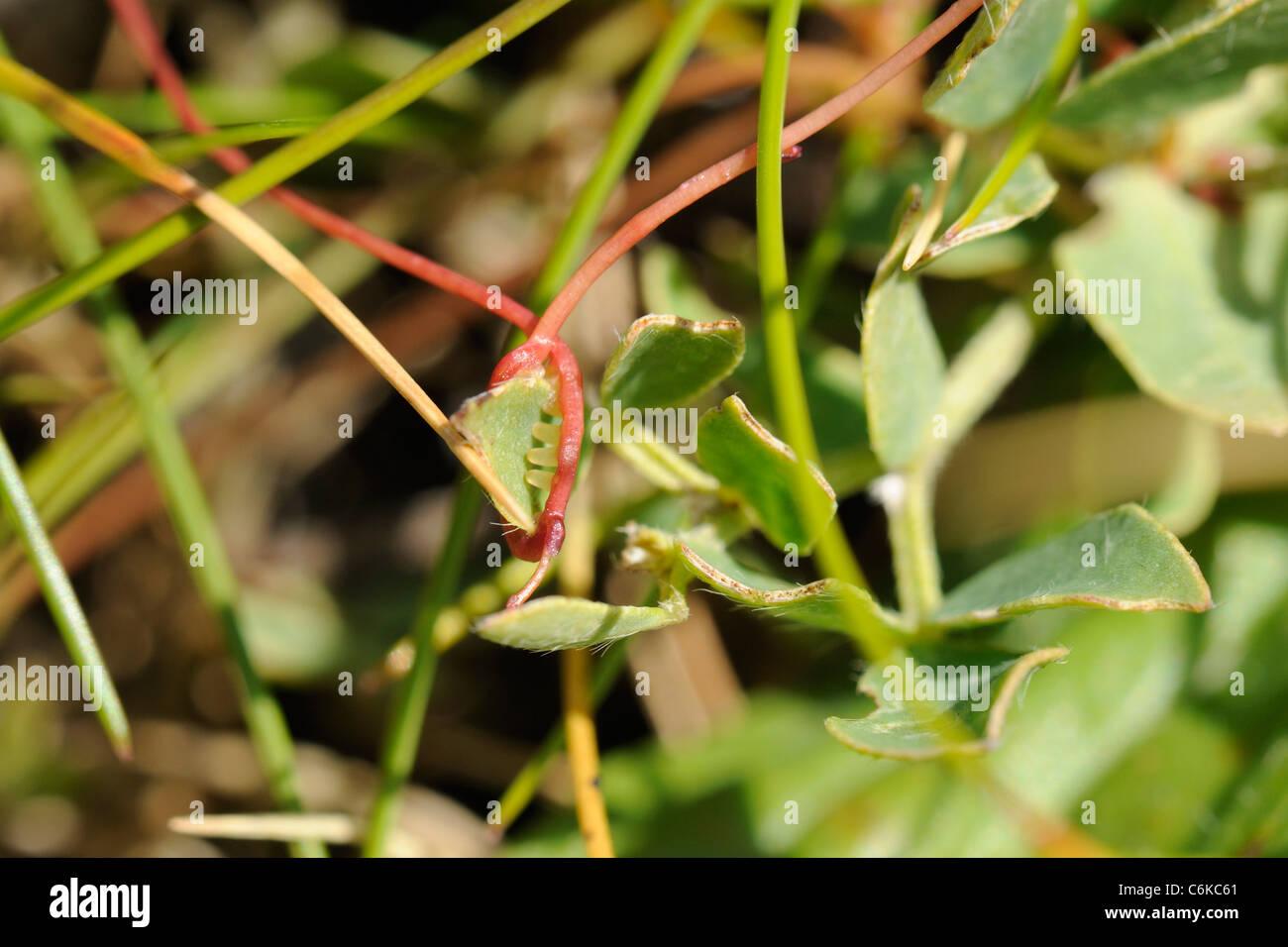 Dodder, Cuscuta epithymum - Stock Image
