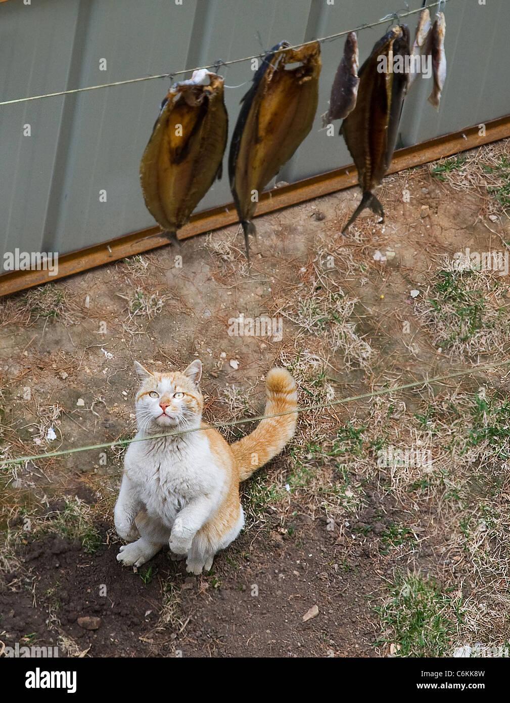 Greedy cat smells something fishy This greedy cat tries desperately