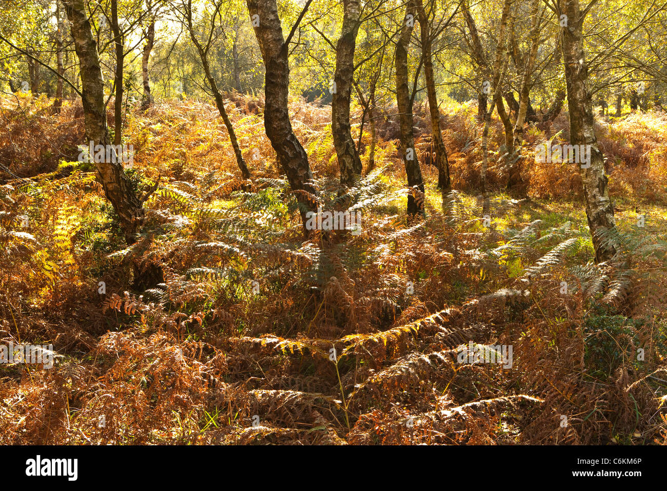 Sunlight on birch trees and bracken in the New Forest national park in Autumn - Stock Image