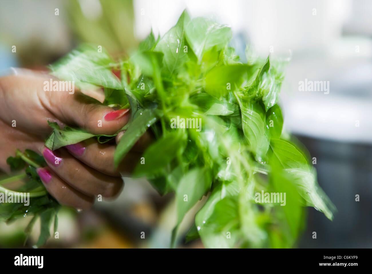 Holding bunch of fresh basil - Stock Image