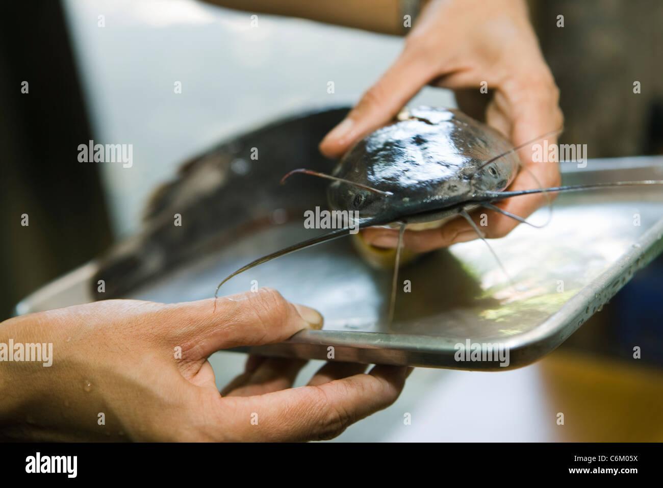 Preparing fresh raw catfish - Stock Image