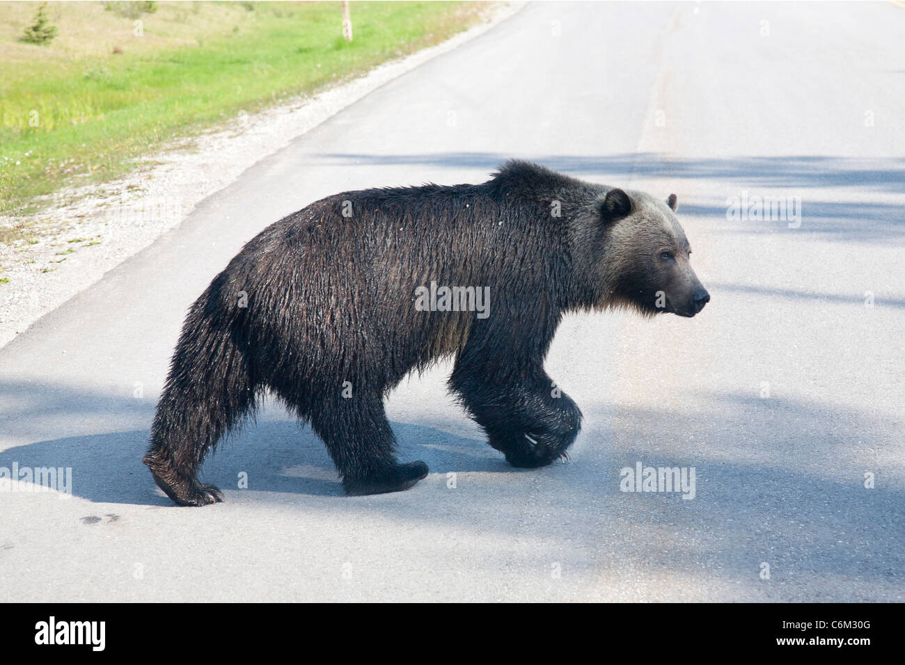 Adult Grizzly Bear, Near Banff, Canada - Stock Image