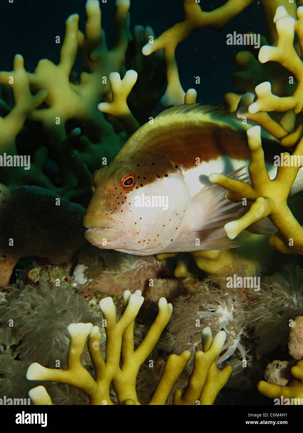 Freckled hawkfish (Paracirrhites forsteri) - Stock Image