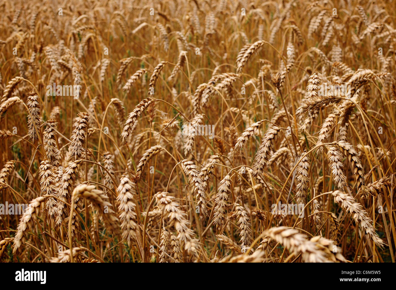 Wheat ears in a field, England - Stock Image