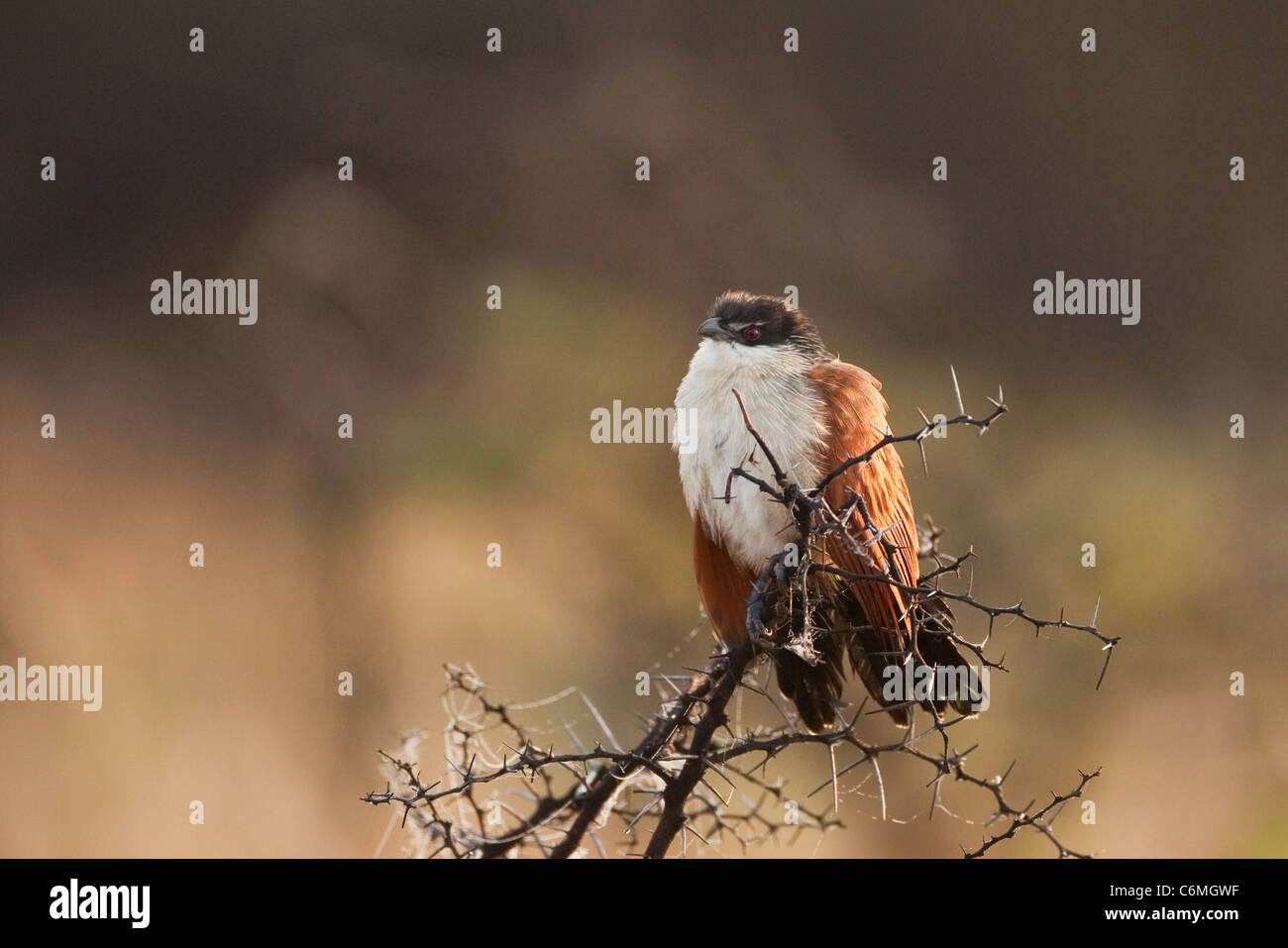 Burchell's coucal (rain bird) on a branch with dew in early morning light - Stock Image