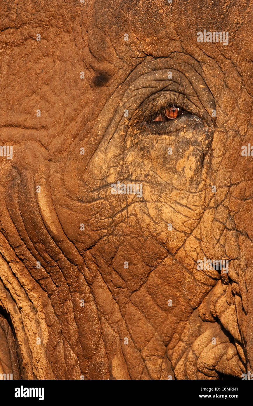 A close up of an elephants eye and skin on the side of the face - Stock Image