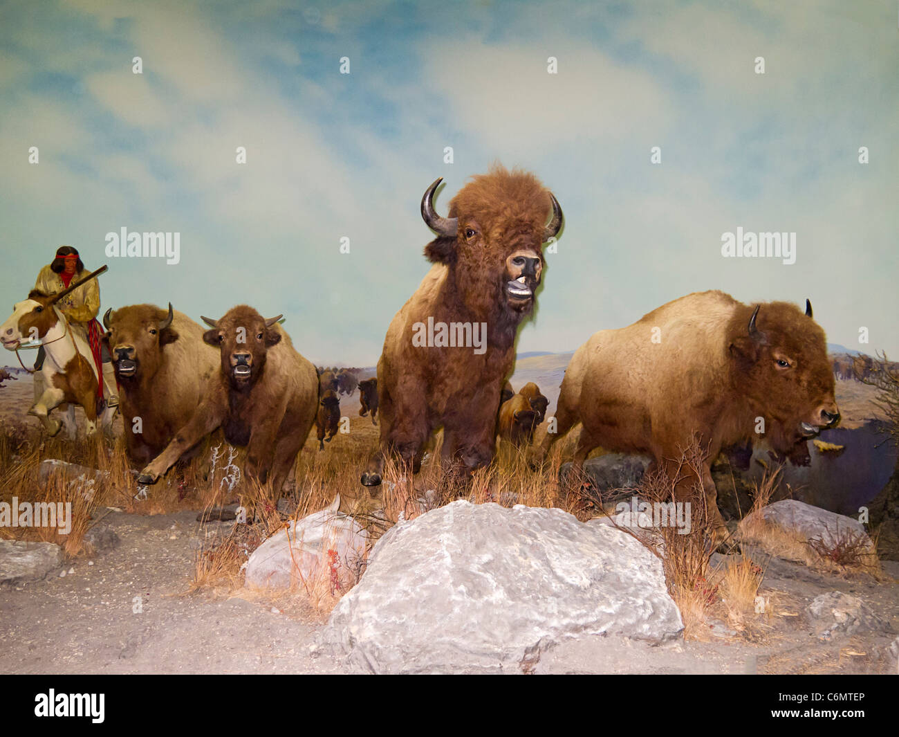 Diorama of Native American Matis Indians hunting buffalo on the Canadian plains. The Manitoba Museum, Winnipeg, - Stock Image