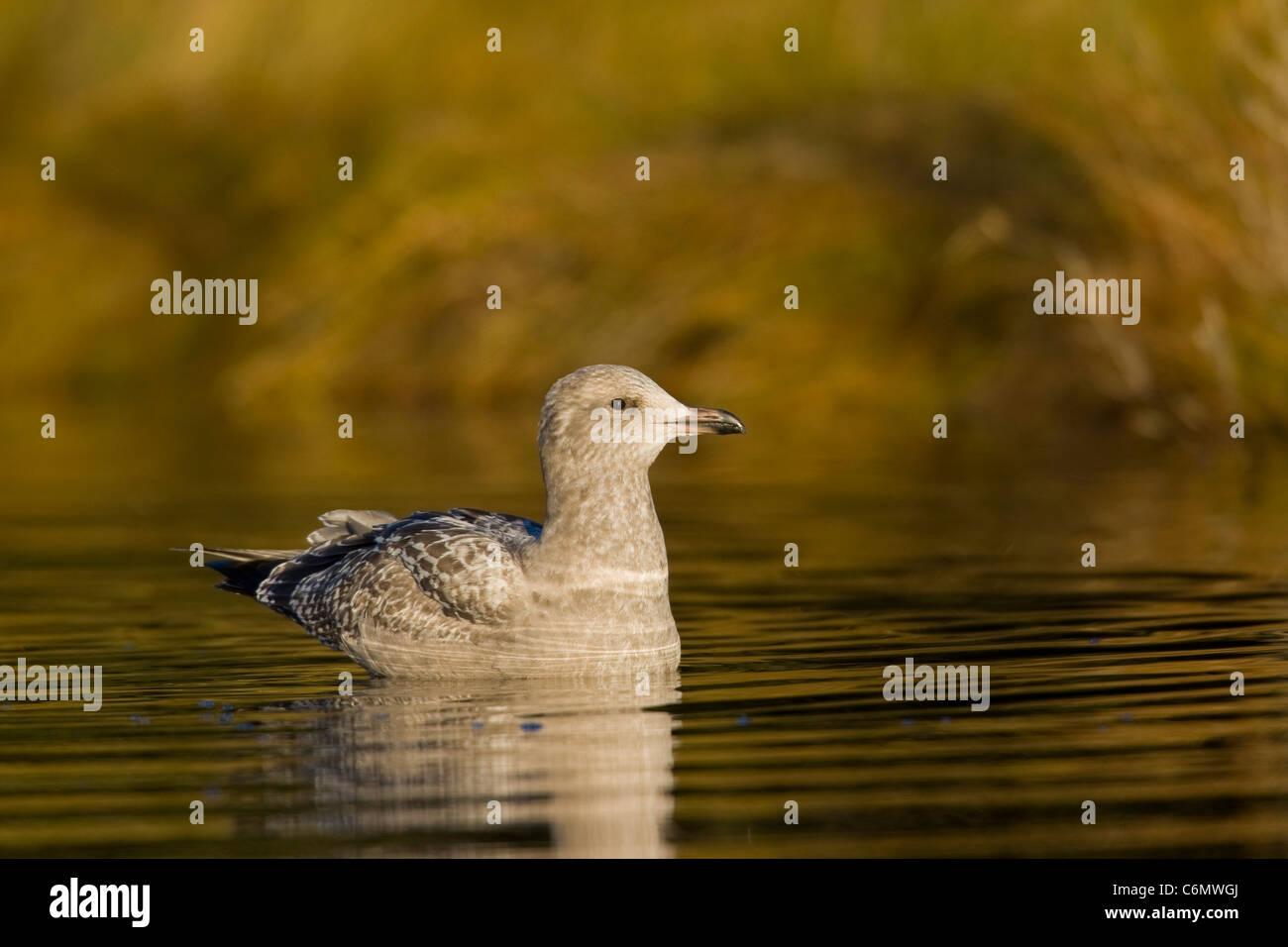 Herring Gull (Larus argentatus), 1st winter juvenile - Stock Image